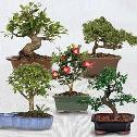 Bonsai of the Month - 12 Months