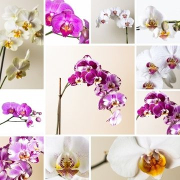 Orchid of the Month - 12 Months